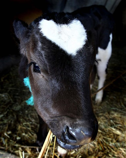 "An ox named ""Heart"" relaxes at Yamakun Farm in Yokohama, Japan. (Photo by Junko Kimura/Getty Images)"