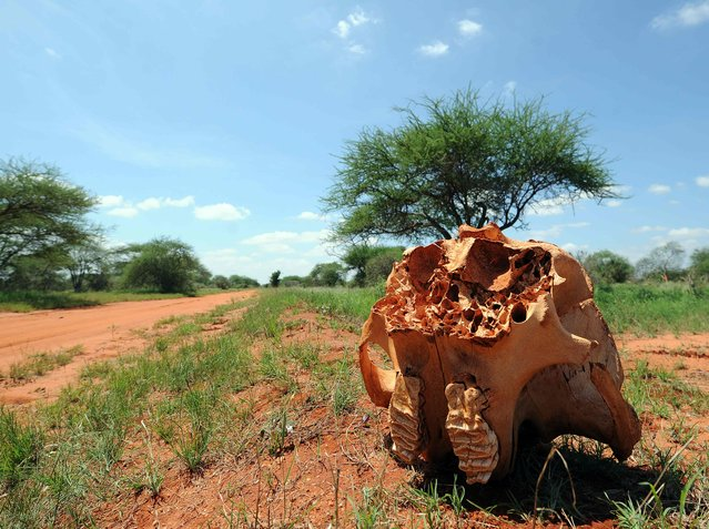 The skull bone of an elephant is pictured on March 16, 2016 at the Tsavo east national park (approximately 337 kilometres south east) of capital, Nairobi, Kenya. (Photo by Tony Karumba/AFP Photo)