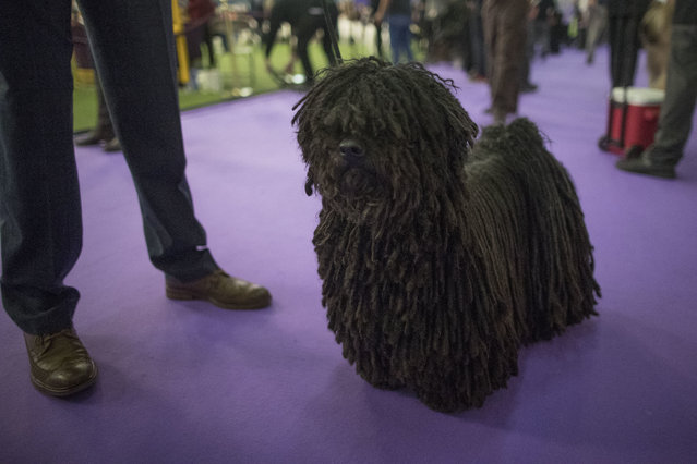 Preston, a puli, waits to compete during the 141st Westminster Kennel Club Dog Show, Monday, February 13, 2017, in New York. (Photo by Mary Altaffer/AP Photo)