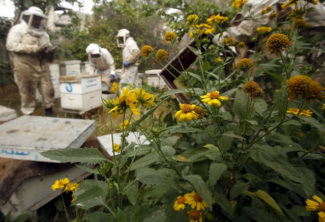 Palestinian beekeepers move beehives in the process of collecting honey at a farm in Rafah, in the southern Gaza Strip April 11, 2016. Rateb Samour sees 250 patients a day, whose complaints range from hair loss to cerebral palsy and cancer. He is not a doctor and has never worked in a hospital. Samour inherited the skill of bee-sting therapy from his father. From 2003 the agricultural engineer dedicated all his time to study and develop the alternative-medicine treatment of apitherapy, which uses bee-related products from honey, propolis – or bee glue used to build hives – to venom. (Photo by Suhaib Salem/Reuters)