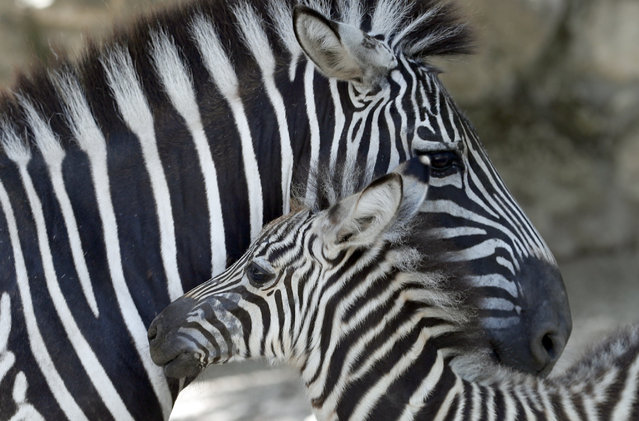 A newborn baby zebra, front, standing by its mother in the shadow at the Belgrade Zoo, Serbia, Tuesday, July 2, 2019. Authorities have warned of extremely hot temperatures in Serbia and the rest of the Balkans as a heat wave that has hit western Europe moves toward east of the continent. (Photo by Darko Vojinovic/AP Photo)