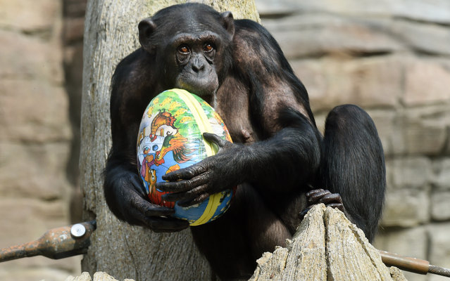 Chimpanzee Viktoria bites into an Easter egg as she sits in her enclosure at the zoo in Hanover, central Germany on April 3, 2014. The egg was filled with roots and fruits and a trophy from an Easter egg hunt for the zoo animals as the Easter vacation started in this German region of Lower Saxony. (Photo by Holger Hollemann/AFP Photo/DPA)