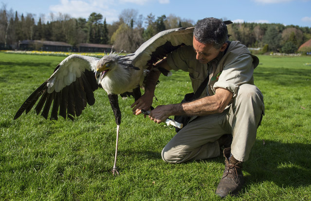 In this April 4, 2017 photo keeper German Alonso straps a leg prothesis to on the left leg of secretarybird Soeckchen (Sagittarius seprentarius) at the bird park in Walsrode, northern Germany. The prothesis was made in a 3D-printer after his left leg was amputated. (Photo by Philipp Schulze/DPA via AP Photo)