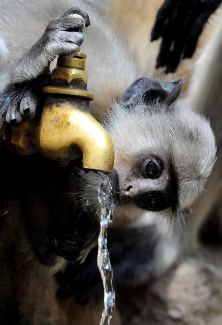 A monkey drinks water from a tap on a hot afternoon on the outskirts of the Indian city of  Bhubaneswar on May 6, 2014. Northern India is experiencing a heatwave, with high temperatures for the time of year. (Photo by Asit Kumar/AFP Photo)