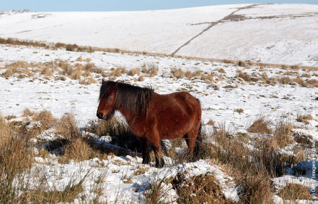 Dartmoor ponies walk in snow that has settled on Dartmoor on February near Princetown, England