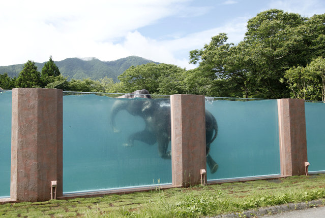 An Asian elephant swims a 65-meters long pool at Fuji Safari Park in Susono, at the foot of Mt. Fuji, southwest of Tokyo, Monday, July 13, 2015. The park was inspired by the images of elephants swimming in the ocean and wanted to build a facility exactly demonstrating what was little known in Japan that elephants can actually swim. (Photo by Koji Ueda/AP Photo)