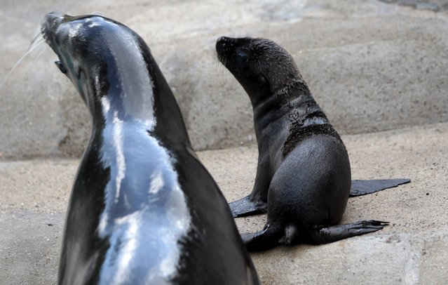 "Newborn sea lion ""Kaya"" lies beside her mother at the enclosure at the zoo in Wuppertal, Germany July 23, 2015. (Photo by Ina Fassbender/Reuters)"