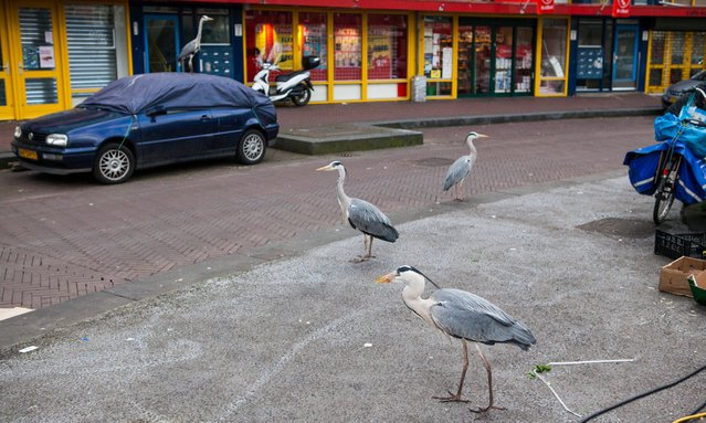 At the Dappermarket in the east of Amsterdam, herons can often be seen circling around the stalls. (Photo by by Julie Hrudova/The Guardian)