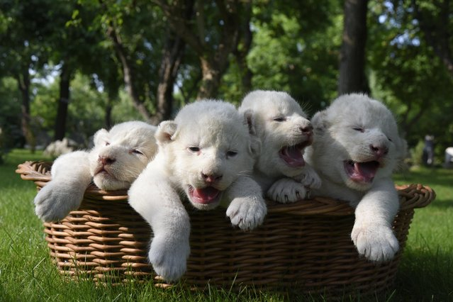 Four white lion cubs, born two weeks ago, are seen in a basket at the Taigan Safari Park, in Belogorsk, about 50 km (31 miles) east of Simferopol, Crimea, Wednesday, July 29, 2015. The newly born white lion cubs were shown to the media for the first time Wednesday. (Photo by Alexander Polegenko/AP Photo)