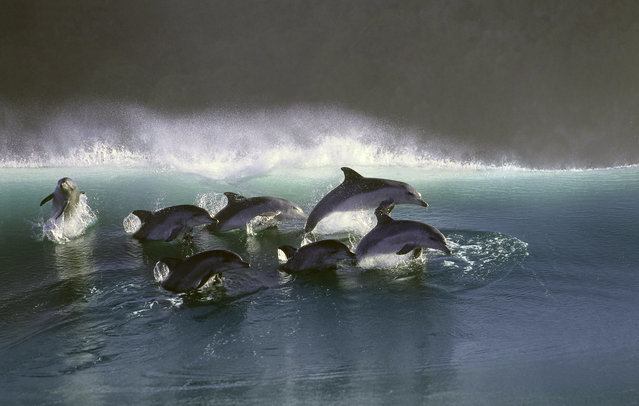 Pod of dolphins surf effortlessly through the waves in the wild traveling at speeds up to 20 mph
