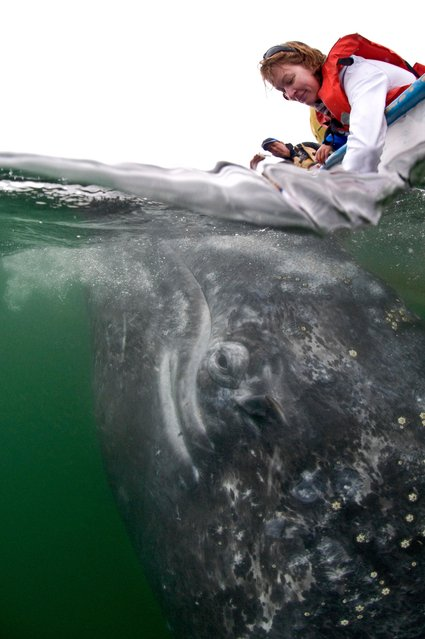 A grey whale calf comes towards a boat to greet tourists in, Baja California, Mexico, March 2017. (Photo by  Mark Carwardine/Barcroft Images)