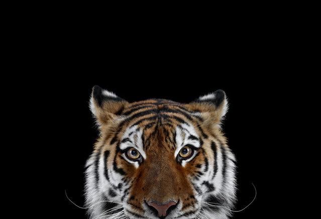 Tiger. (Photo by Brad Wilson)