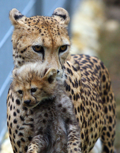 Cheetah female Wazi carries one of her four cubs in the enclosure in Opole Zoo in Opole, Poland, 04 September 2015. After 10 years, eight cheetah cubs were born in Opole Zoo from two female cheetahs Wazi and Mambo. (Photo by Krzysztof Swiderski/EPA)