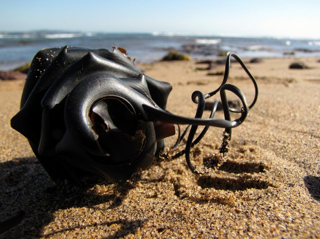 Shark egg case washed up at Long Reef. (Photo by myopixia)