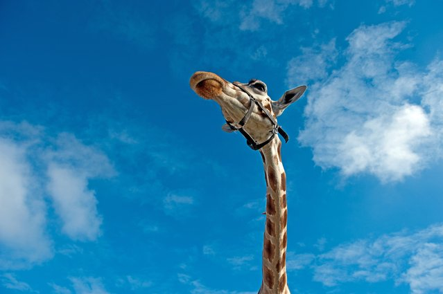 A Giraffe is photographed in front of a blue sky at the Berolina Circus in Berlin, Germany, on October 11, 2012.  (Photo by Robert Schlesinger/AFP Photo)