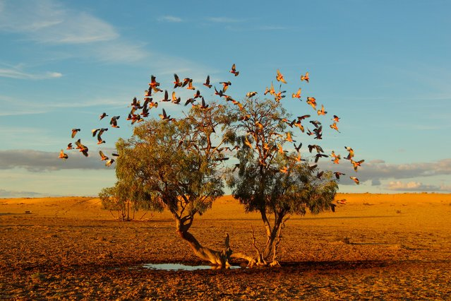 """""""A tree dreaming"""". In the Strezlecki desert of Australia a flock of galahs replenish on the only small water avaliable at the base of this lonely tree.Its a rare photo opportunity to get such a clear and symetrical shot of these beautiful birds in flight in the middle of the desert. Photo location: Strezlecki desert, Australia. (Photo and caption by Christian Spencer/National Geographic Photo Contest)"""