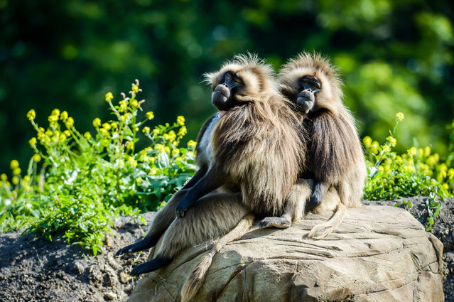 A pair of gelada baboons relax in hot weather at the new Gelada Rocks enclosure at Wild Place Project in Bristol, UK on August 16, 2016. The all-male group are settling in after their arrival from a zoo in Zurich, Switzerland. (Photo by Ben Birchall/PA Wire)