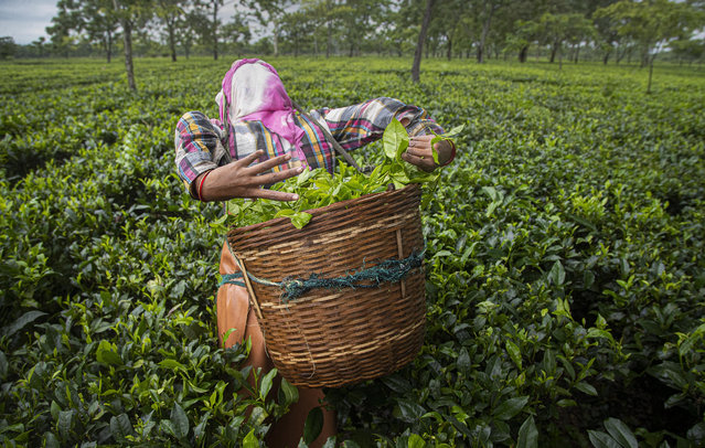An Indian tea worker puts the plucked tea leaves in basket at a tea garden in Biswanath Chariali district of eastern state of Assam, India, Saturday, June 27, 2020. Assam produces more than 50 percent of India's tea crop. (Photo by Anupam Nath/AP Photo)