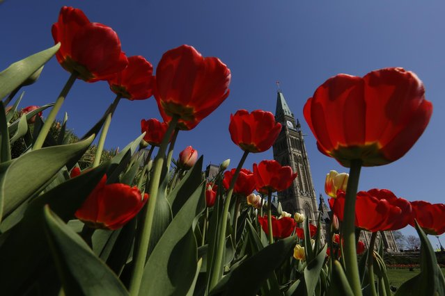 Tulips frame the Peace Tower on Parliament Hill in Ottawa May 12, 2014. (Photo by Chris Wattie/Reuters)
