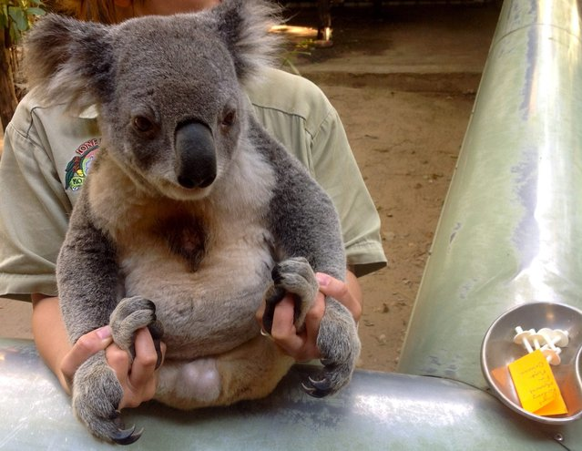 An undated handout picture made available by the University of the Sunshine Coast on 29 October 2014 shows a koala to be vaccinated in Maroochydore, Queensland, Australia. Scientists at the University of the Sunshine Coast have spent five years working on vaccine for chlamydia the sexually transmitted disease which is devastating koala populations and causing blindness and infertility. (Photo by EPA/University of the Sunshine Coast Australia and New Zealand)