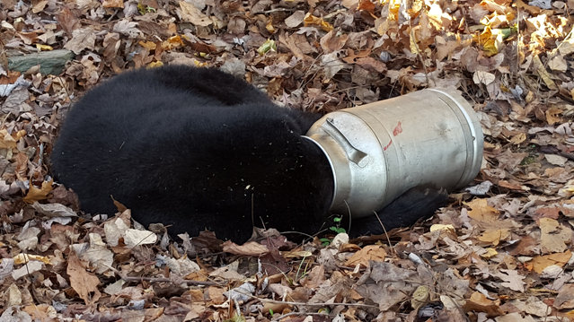 A black bear is pictured with its head stuck in a milk can near Thurmont, Maryland, November 16, 2015. Maryland Department of Natural Resource workers tranquilized the bear before using an electric handsaw to cut the milk can off. The bear recovered consciousness and walked off unharmed. (Photo by Maryland Wildlife and Heritage Service/Reuters)