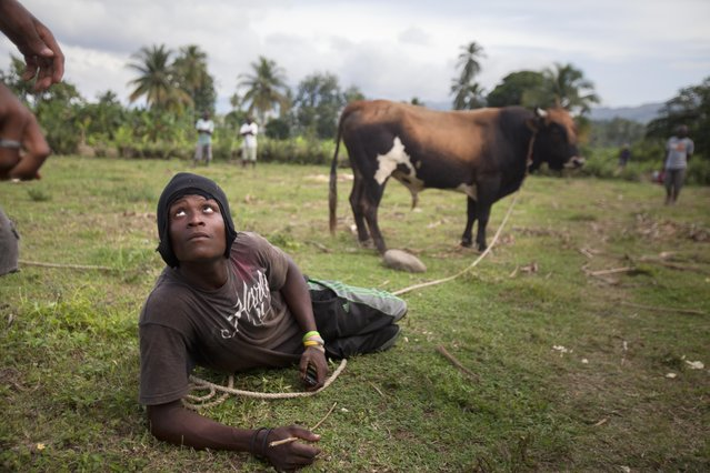 In this November 9, 2014 photo, a man sits on the rope holding his bull by the neck as he waits to enter it in a bull fight in Leogane, Haiti. The obscure Haitian practice of fighting bulls is brutal like a cock or dog fight, but on a larger scale. A casual pastime for some rural men, it is serious business for others looking to pay their children's school fees or even buy a car. (Photo by Dieu Nalio Chery/AP Photo)