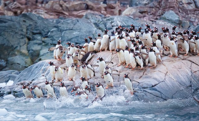 A colony of gentoo penguins prepare to launch themselves into the Antarctic ocean from Cuverville Island, Antarctica. (Photo by David Merron/500px)
