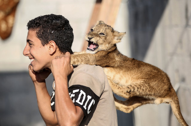 A Palestinian youth plays with one lion cub at his family house in Khan Yunis in the southern Gaza Strip on November 9, 2020. (Photo by Said Khatib/AFP Photo)