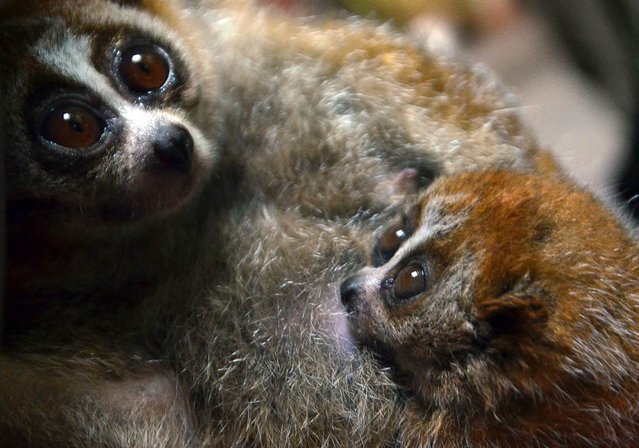 A 6-week-old pygmy slow loris snuggles with its mother, Malaga, at the zoo in Szeged, Hungary. (Photo by Csaba Segesvari/AFP Photo)