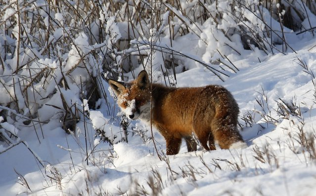 A fox is pictured at the snow covered Grunewald forest in Berlin December 29, 2014. (Photo by Fabrizio Bensch/Reuters)
