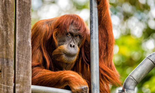 "60-year-old ""Puan"", who has been declared the oldest living Sumatran Orangutan in the world, is seen at Perth Zoo in Western Australia, in this handout image released October 27, 2016. Puan celebrated with a birthday breakfast of rambutans from her childhood home in Malaysia, Perth Zoo spokeswoman Danielle Henry said. She was gifted to the zoo in 1968 by the Sultan of Johor who received some native Australian animals in return. Perth Zoo is one of the top breeders of orangutans and Paun was the start of its breeding programme. Female orangutans in the wild do not generally live past 50, Henry said. (Photo by Alex Asbury/Reuters/Perth Zoo)"