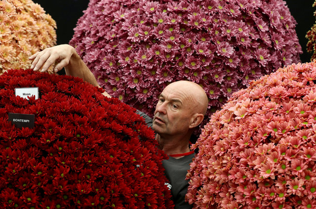 A worker adjusts chrysanthemums on a display as he prepares for the RHS Chelsea Flower Show in London, Britain May 20, 2018. (Photo by Simon Dawson/Reuters)
