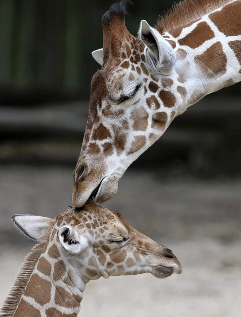 An unnamed new born male giraffe (bottom) is seen with his half-brother, Dave, at the Brookfield Zoo near Chicago, Illinois, July 3, 2013. The calf was born on June 21, and is the 59th giraffe born at the Zoo. (Photo by Jim Young/Reuters)