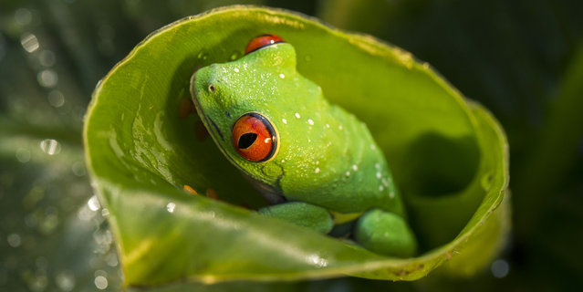 Red-eyed tree frog, agalychnis callidryas in Bitovany, Czech Republic on July 12, 2014. (Photo by Ondrej Zaruba/CTK/ABACAPress)