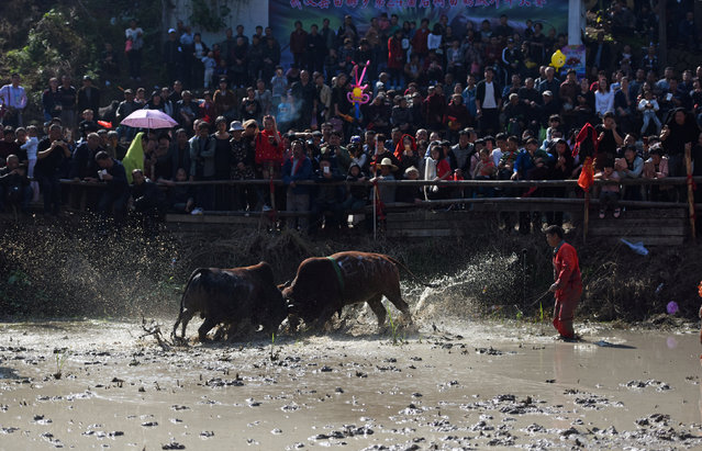 Oxen fight during a traditional event in Wuyi, Zhejiang Province, China, November 5, 2016. Picture taken November 5, 2016. (Photo by Reuters/Stringer)