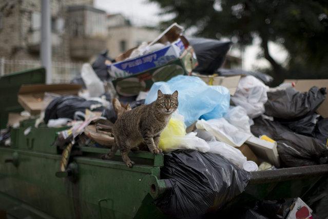 A stray cat stands on a garbage bin in central  Jerusalem, Israel, 07 January 2016. (Photo by Abir Sultan/EPA)