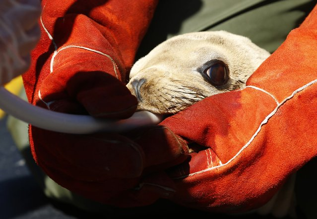 A rescued sea lion pup is tube fed a mixture of food and water by an animal care specialist at Sea World in San Diego, California March 17, 2015. (Photo by Mike Blake/Reuters)