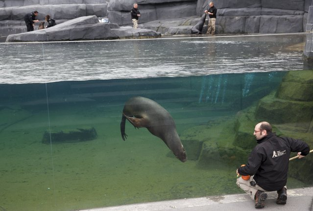Paris zoo veterinarian Bastien Servieres works with a sea lion to acclimate it to his presence during a training session at the Paris Zoological Park in the Bois de Vincennes in the east of Paris March 26, 2015. (Photo by Philippe Wojazer/Reuters)