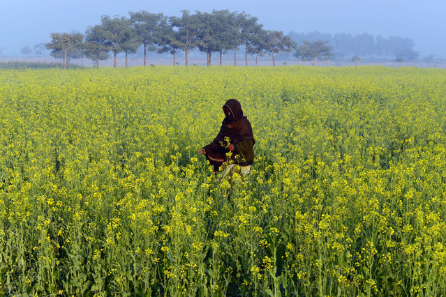 A Pakistani walks through a field of mustard flowers on the outskirts of Lahore on November 28, 2013. (Photo by Arif Ali/AFP Photo)