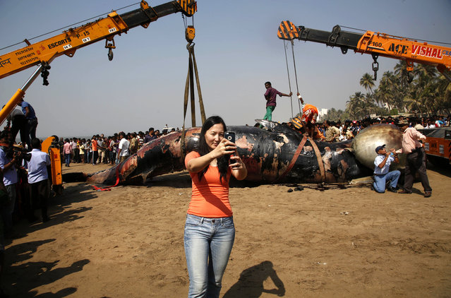 A woman takes selfie as municipal workers use cranes to lift carcass of Bryde whale at the Juhu beach, in Mumbai, India, Friday, January 29, 2016. Marine biologists in India were conducting an autopsy on the carcass of 35-foot long Bryde whale that washed ashore on a popular beach in the western city of Mumbai. The beached mammal which appeared to have died at sea two or three days ago was spotted on the beach Thursday by late evening walkers, who informed police. (Photo by Rajanish Kakade/AP Photo)