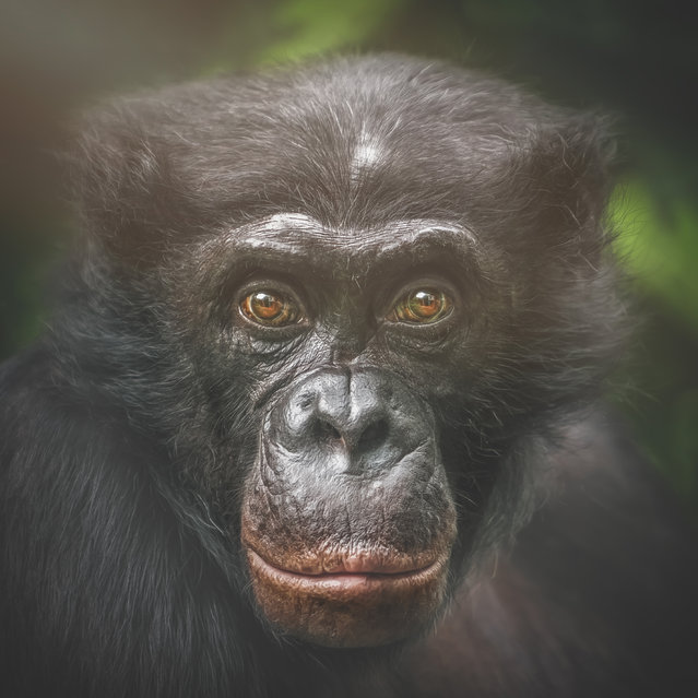 Bonobo, Clyde. (Photo by Manuela Kulpa/Caters News)