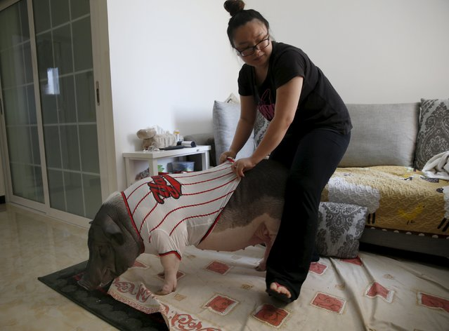Zhu Roumeng puts a T-shirt on her pet pig, Wuhua, as she prepares to bring it for a walk, as they get ready in her house, in Beijing April 22, 2015. (Photo by Kim Kyung-Hoon/Reuters)