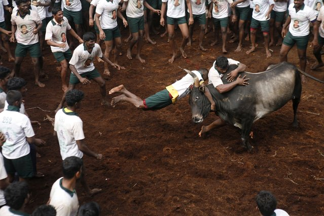 "Participants try to hold on to a bull during a bull-taming sport called ""Jallikattu,"" in Alanganallor, about 424 kilometers (264 miles) south of Chennai, India, Thursday, January 16, 2014. (Photo by Arun Sankar K./AP Photo)"