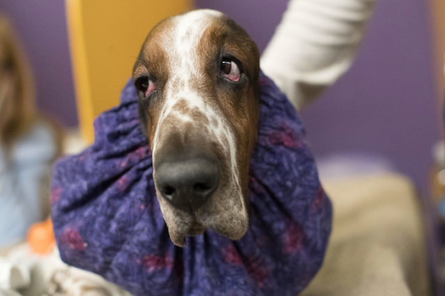 Davis, a basset hound, waits in the staging area during the Westminster Kennel Club Dog Show, Monday, February 13, 2017, in New York. (Photo by Mary Altaffer/AP Photo)