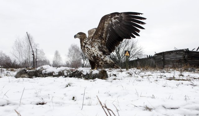 A white-tailed eagle lands on a wolf's carcass in the 30 km (19 miles) exclusion zone around the Chernobyl nuclear reactor, in the abandoned village of Dronki, Belarus, February 15, 2016. (Photo by Vasily Fedosenko/Reuters)
