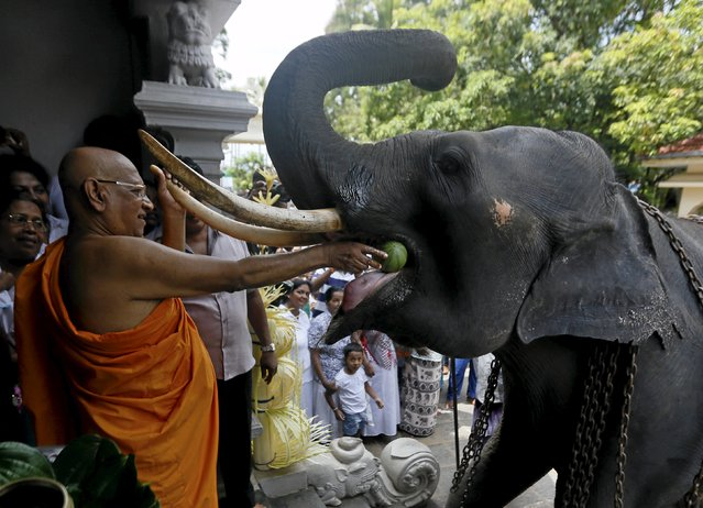Bellanwila Wimalaratana, chief Buddhist monk of the Bellanwila temple, offers a watermelon as he prepares to bless the temple's elephant during a ceremony as part of the Sinhala, Hindu and Tamil new year celebrations in Boralasgamuwa April 16, 2016. Sri Lankans observed their new year on April 14. (Photo by Dinuka Liyanawatte/Reuters)