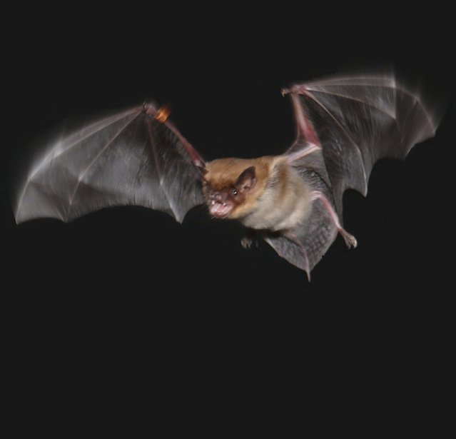 A male big brown bat in flight is shown in this University of Maryland photo released on March 28, 2014. Researchers have learned that male big brown bats in flight use a special call, different from the echolocation calls they use for navigation, to warn other foraging males away from insect prey that they are claiming for themselves. (Photo by Jessica Nelson/Reuters/Auditory Neuroethology Laboratory/University of Maryland)