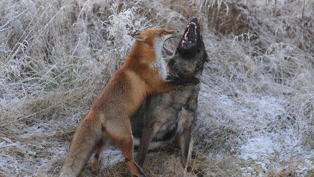 Life Fox And Hound
