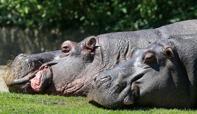 Two hippos doze in the sun in the zoo in Berlin, Germany, July 3, 2015. (Photo by Stephanie Pilick/EPA)