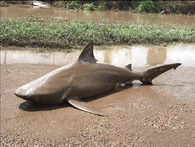 This handout photo from the Queensland Police Service taken on March 30, 2017 shows a bull shark washed up on a road near the town of Ayr. Torrential rain hampered relief efforts on March 30, 2017 after a powerful cyclone wreaked havoc in northeast Australia, with floods sparking emergency rescues as fed-up tourists began evacuating from resort islands. (Photo by AFP Photo/Queensland Police Service)